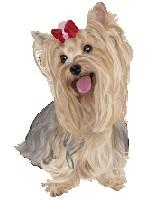 собака йорк девочка