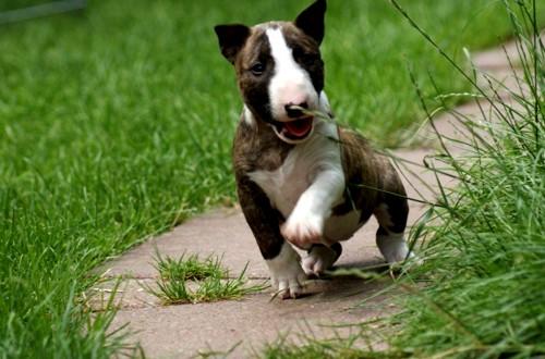 Смешной щенок бультерьера