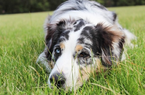 Собака больная диабетом