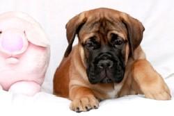 Красивый щенок бульмастифа