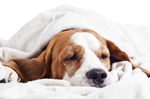 Пес накрытый одеялом