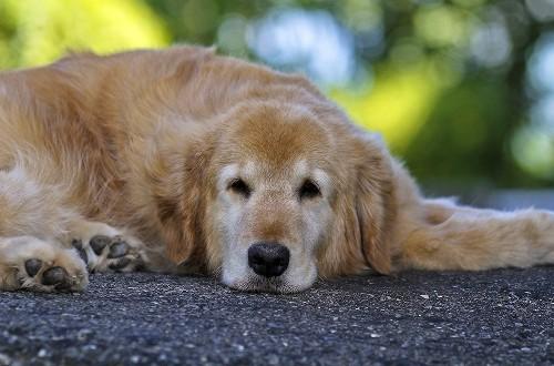 Вялая пожилая собака