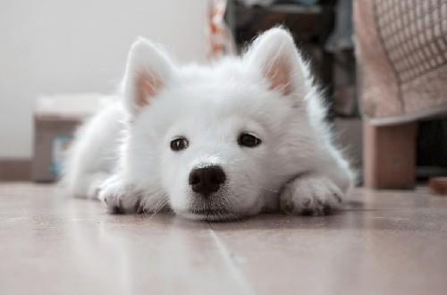 Белый и пушистый с грустными глазами