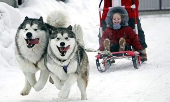 две собаки в упряжке и ребенок