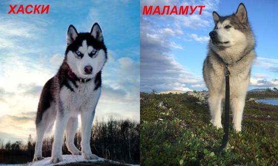 аляскинский маламут и хаски разница