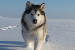 северная собака маламут