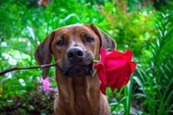 риджбек с розой