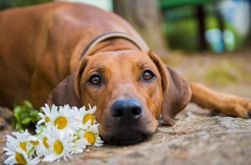 пес и ромашки