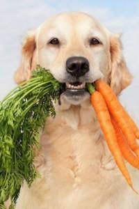 лабрадор с морковкой