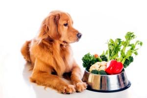 голден ретривер и овощи