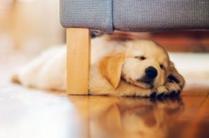щенок голдена спит в квартире