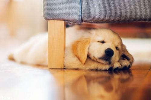 ретривер спит под диваном