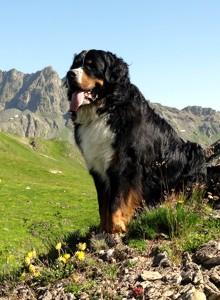 пастушья собака зенненхунд