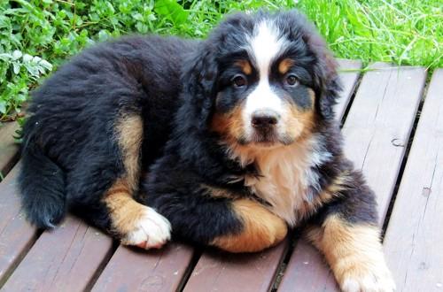 щенок зенненхунда 4 месяца