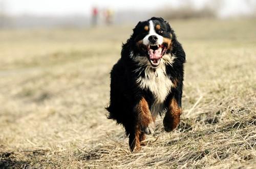 охранная собака в прыжке