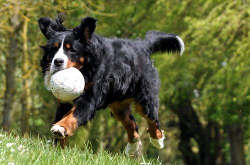 зенненхунд играет с мячиком