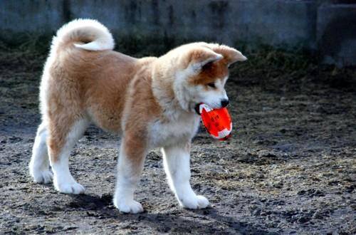 акита играет с мячиком
