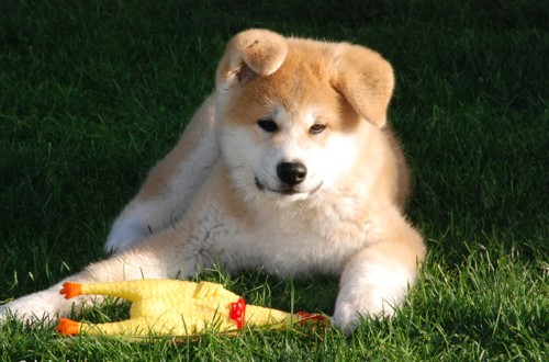 жизнерадостная собака