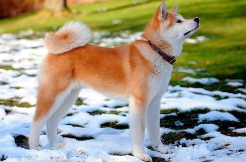 собака акита на снегу