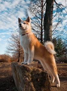 красивая акита на прогулке в лесу