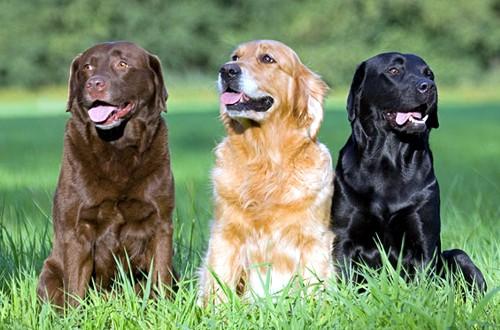 собаки на лужайке