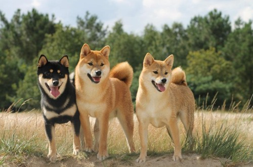 собаки сиба ину