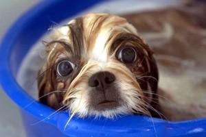 купание щенка ши-тцу
