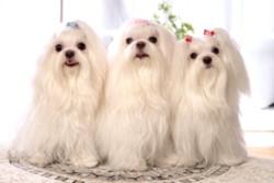 три красавицы мальтезе
