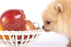 шпиц и яблоки