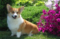 пемброк в саду с цветами