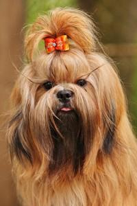 пес с длинной шерстью