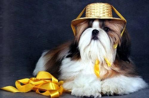 собачка в шляпке