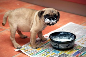 собачка ест сметану
