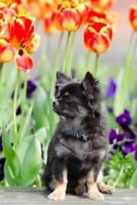 черный чих и тюльпаны