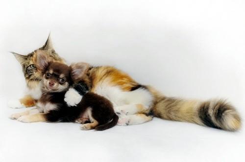 чихуа мини с котом