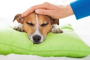 определение температуры собаки без градусника