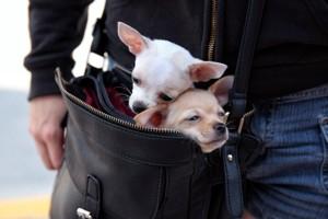 мини собачки в сумке