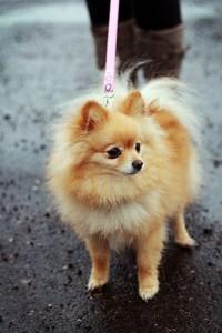 рыжая собачка на выгуле