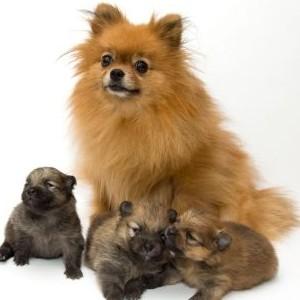 фото декоративной собачки помчи с щенками