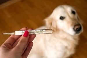 термометр и собака