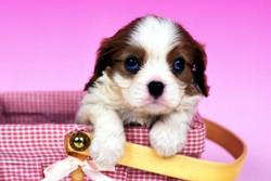щенок в сумочке