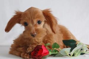 собачка петербургская орхидея с розой