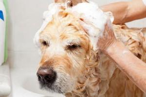 правильное мытье собаки шампунем