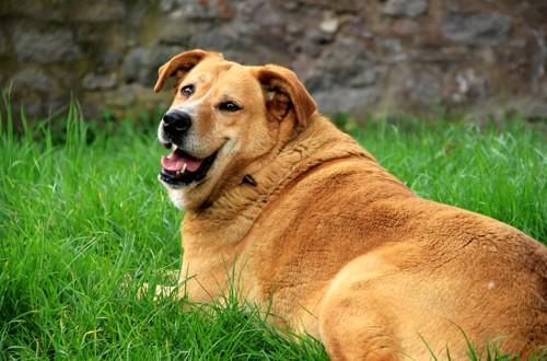 толстая собака на траве