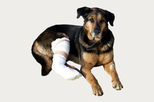 травма ноги у пса