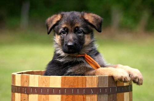 двухмесячный щенок и бочка