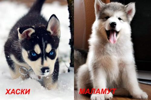 сравнение щенков маламута и хаски