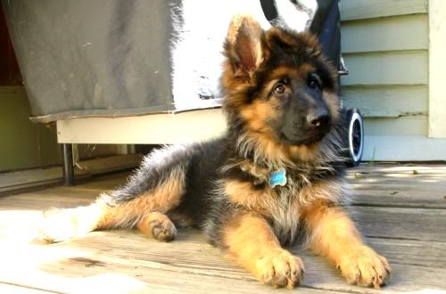 щенок длинношерстной овчарки 3 месяца