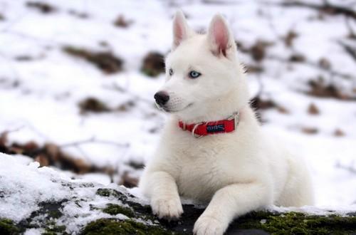 белый сибирский хаски
