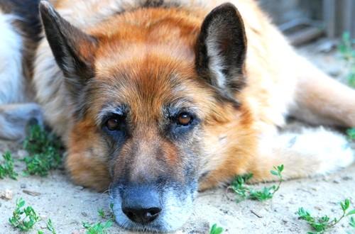 седеющий пес